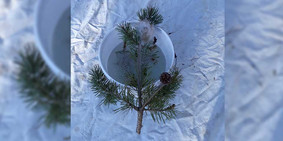Attention aux nid de chenilles! Pour vous et vos animaux, faîtes un piégeage où appelez SOS HORNETS