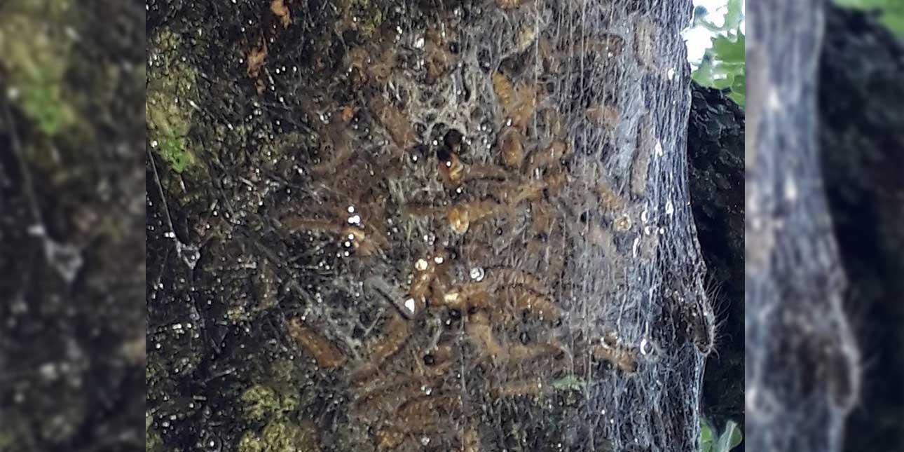 Attention aux nid de chenilles processionnaire du chênes