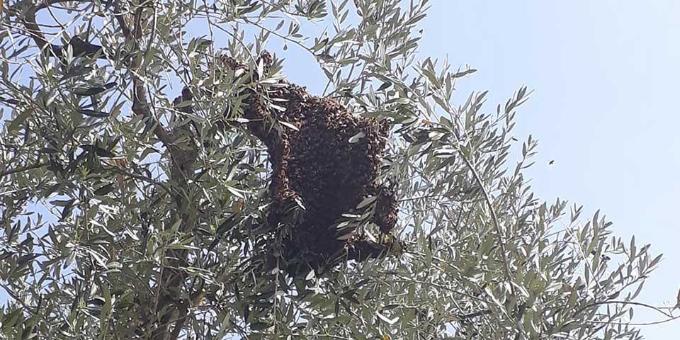 Essaimage d'abeilles: quand une partie des abeilles quitte la ruche avec une reine pour former une nouvelle colonie.