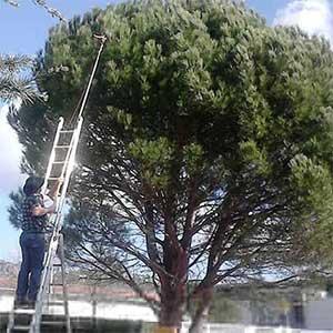 Intervention avec échelle et perche sur nid de chenilles dans un pin.