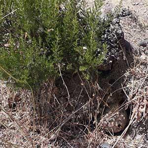 Nid de frelon asiatique dans la terre détruit par SOS HORNETS.