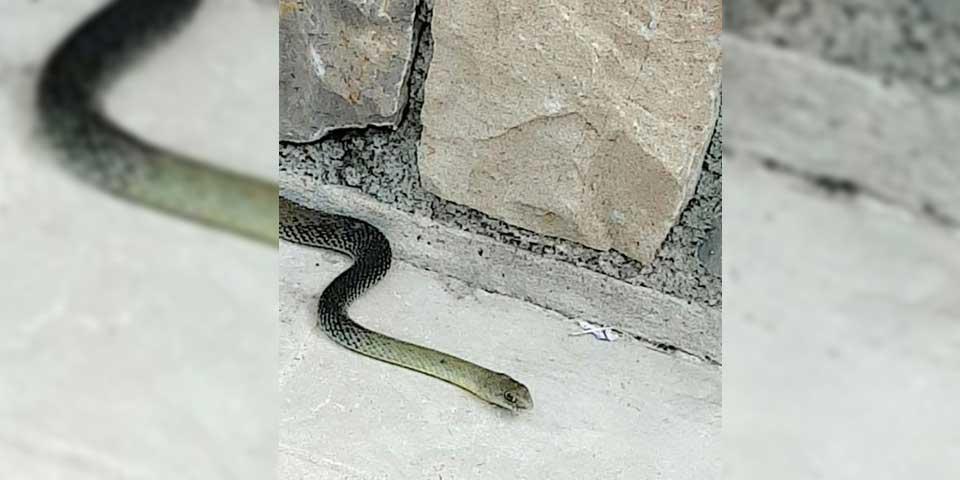 Pour les serpents SOS HORNETS et là aussi!!!