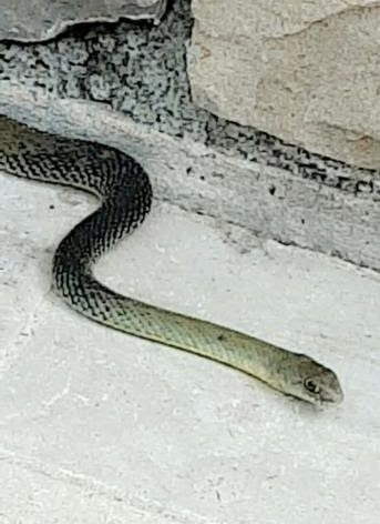 Serpent couleuvre