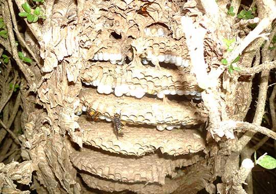 Les frelons tombes comme des mouches...